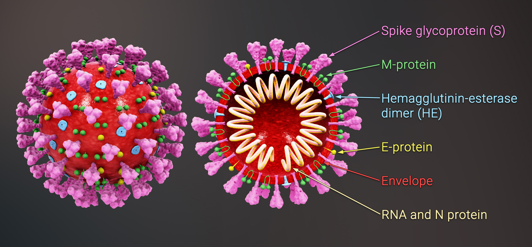 File:3D medical animation coronavirus structure.jpg - Wikimedia ...