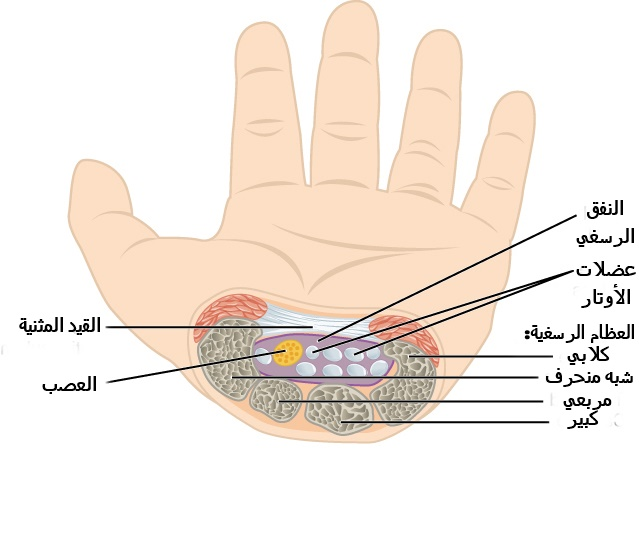 File 815 The Carpal Tunnel Ar Jpg Wikimedia Commons