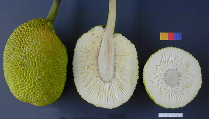 http://upload.wikimedia.org/wikipedia/commons/9/96/ARS_breadfruit49.jpg