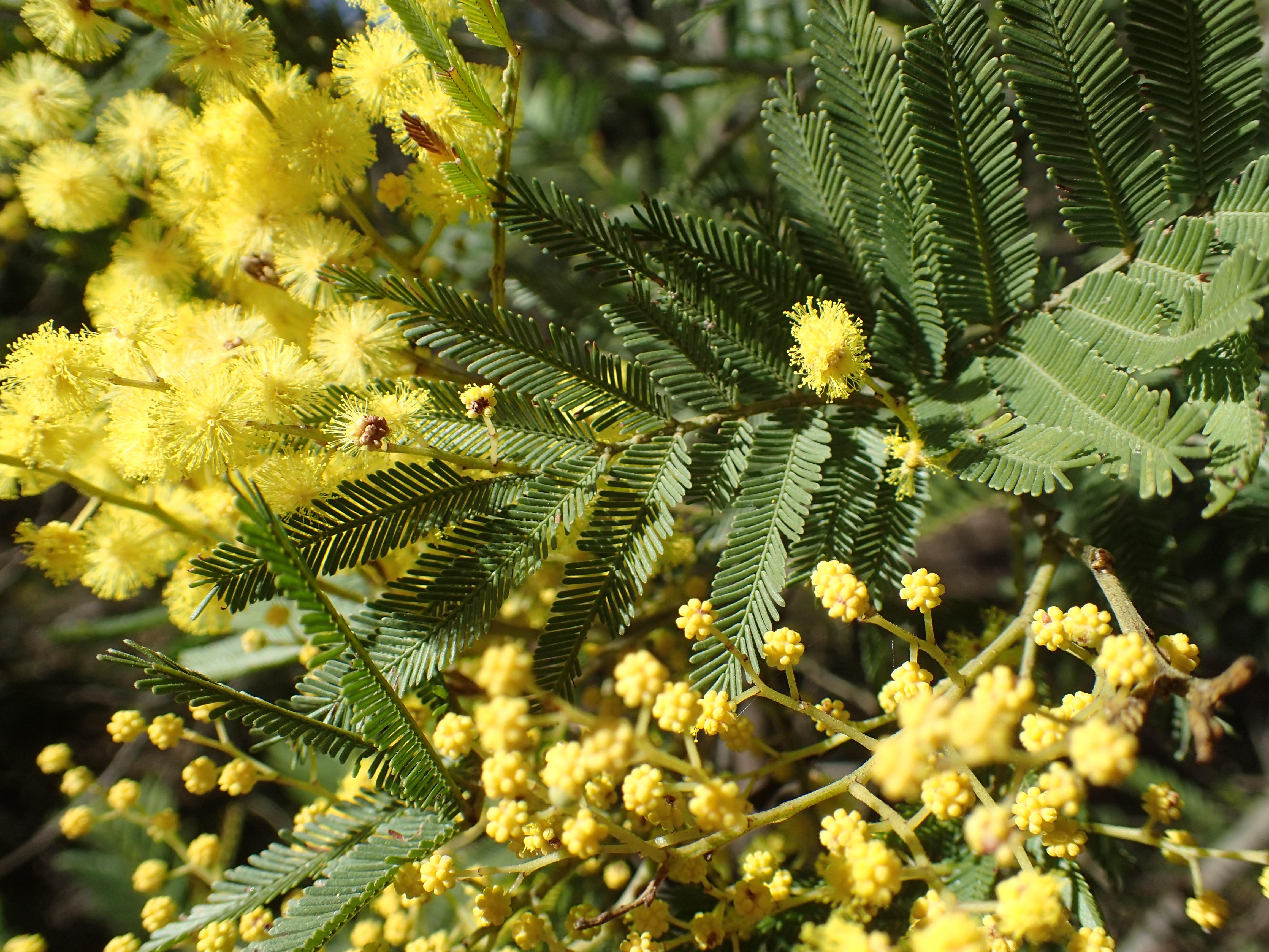 Acacia Filicifolia Wikipedia