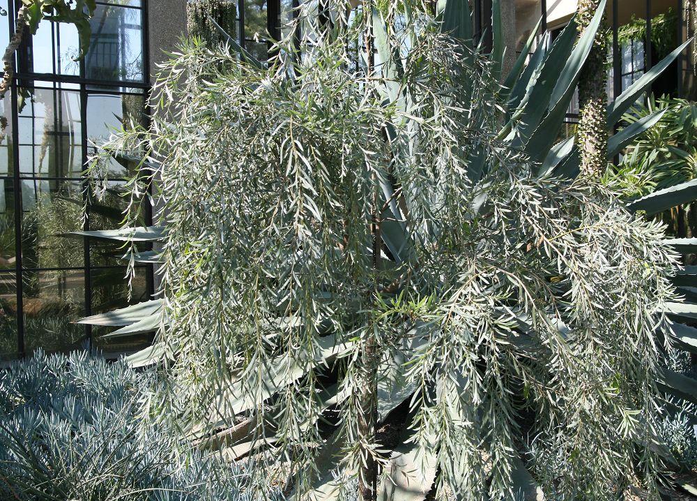 Fileacacia Pendula 0zzjpg Wikimedia Commons