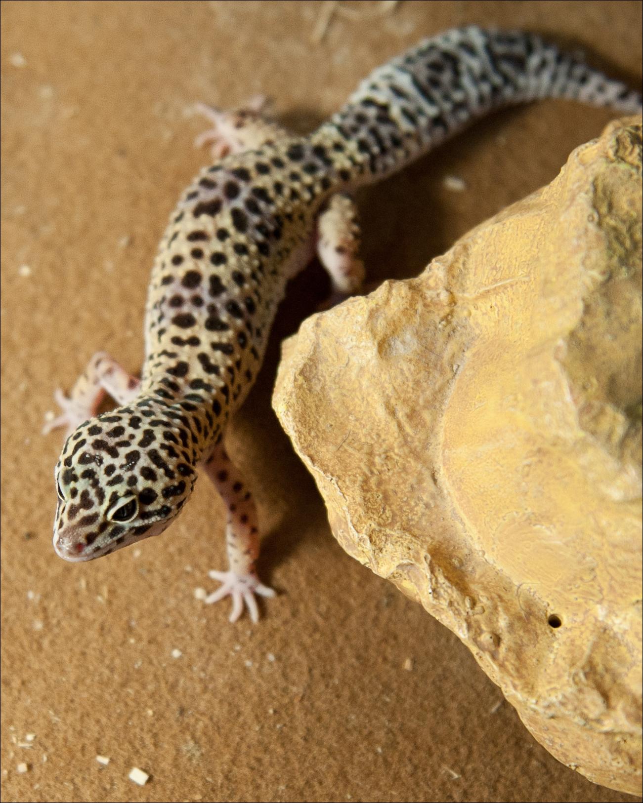 the leopard gecko manual pdf