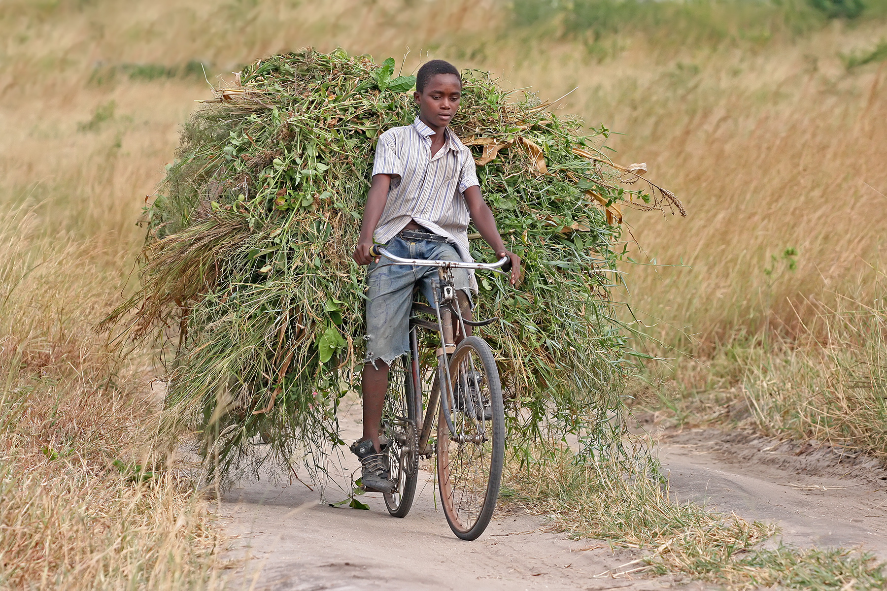 African boy transporting fodder