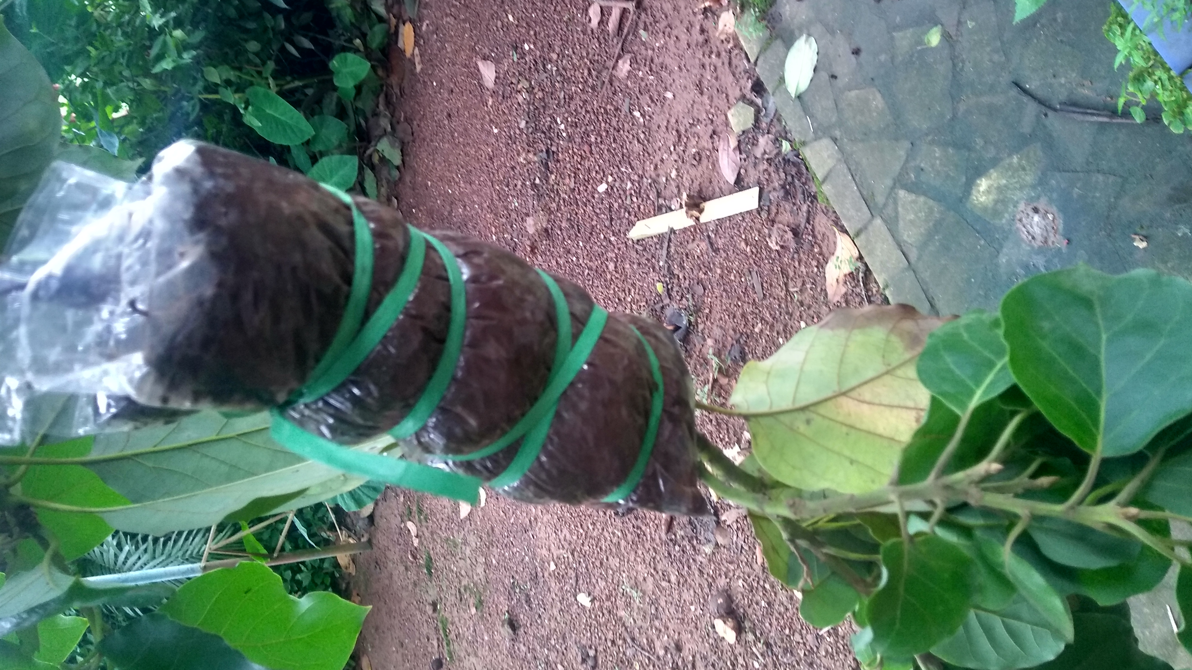 Avocado Tree Images In India