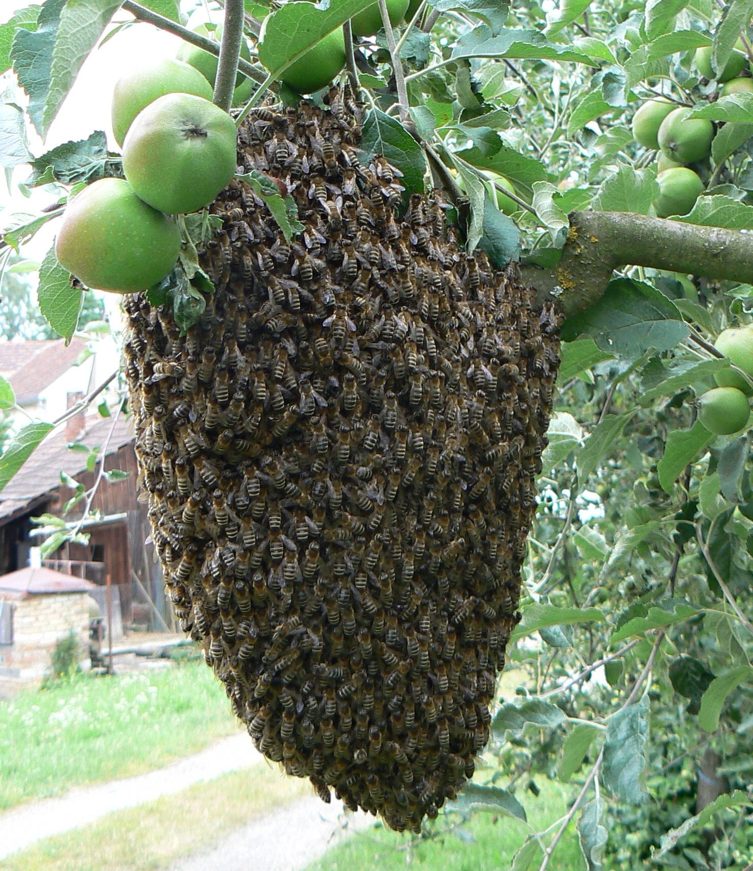 file apis mellifera swarm in czech wikimedia commons. Black Bedroom Furniture Sets. Home Design Ideas