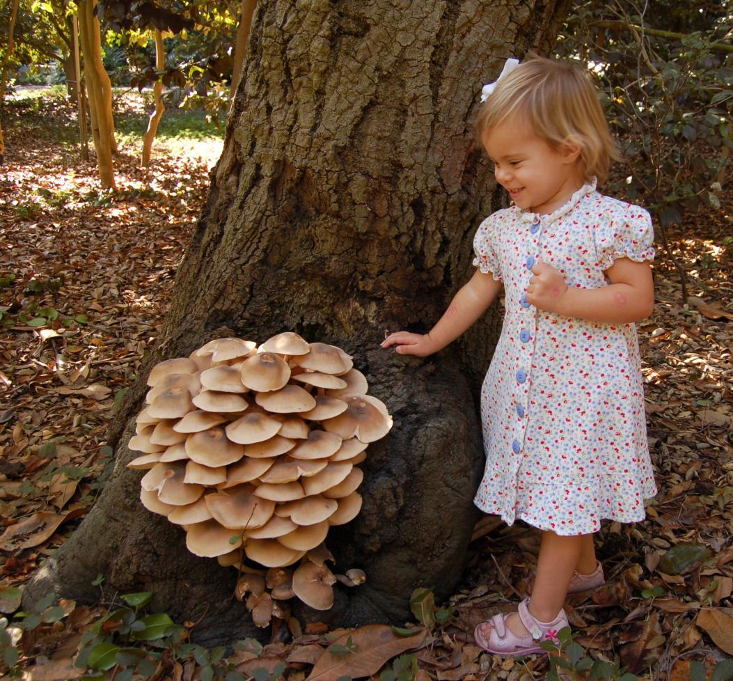 File Armillaria Mellea 7721 Jpg Wikimedia Commons