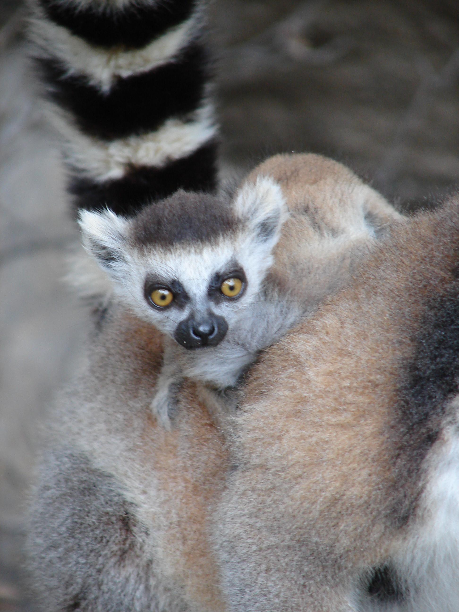 File:Baby Ring-Tailed Lemur, Anja Reserve (3953050649).jpg
