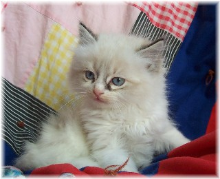 English: One of our Ragdoll kittens.