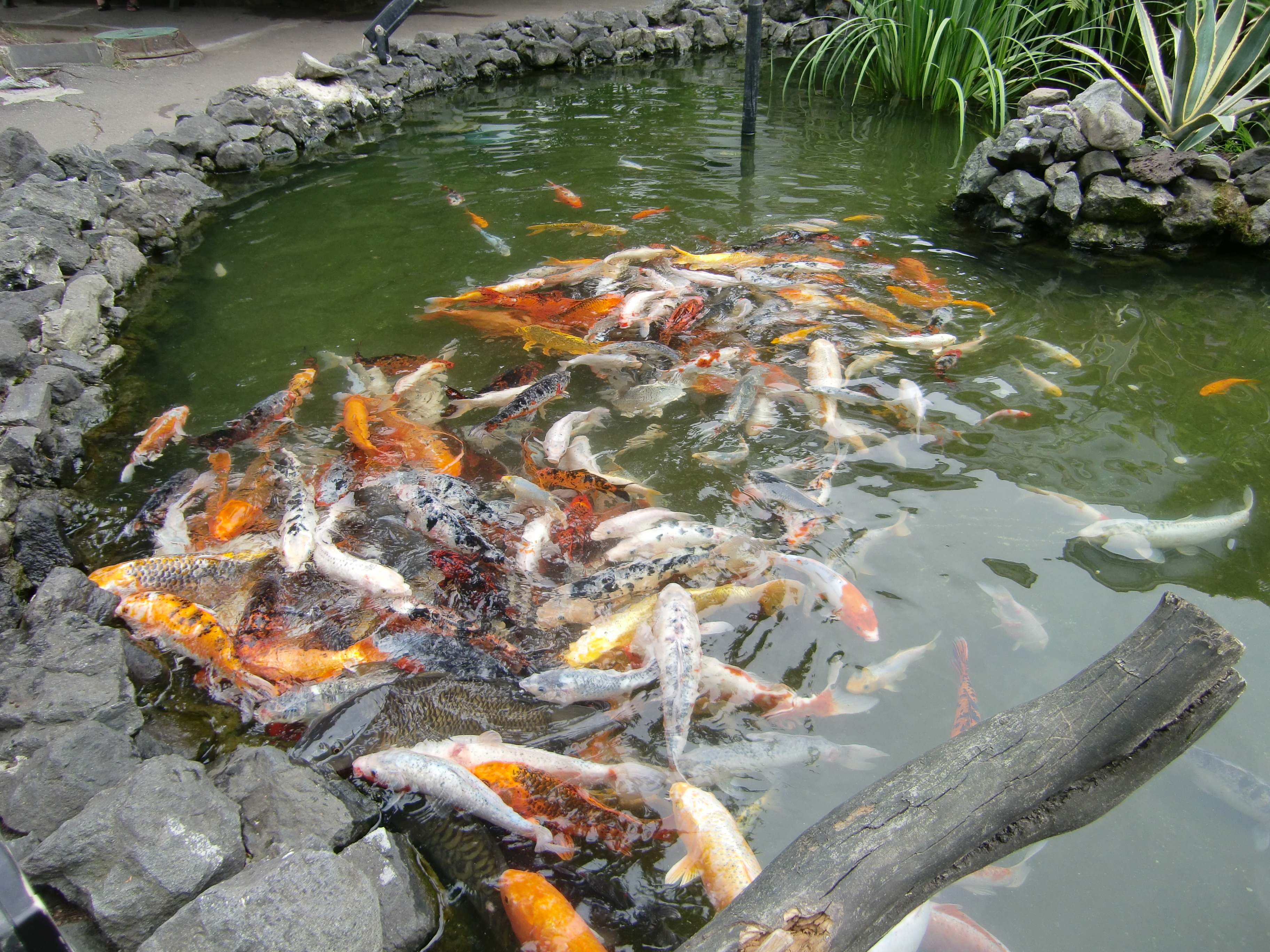 file batumi aquarium koi carp wikimedia commons