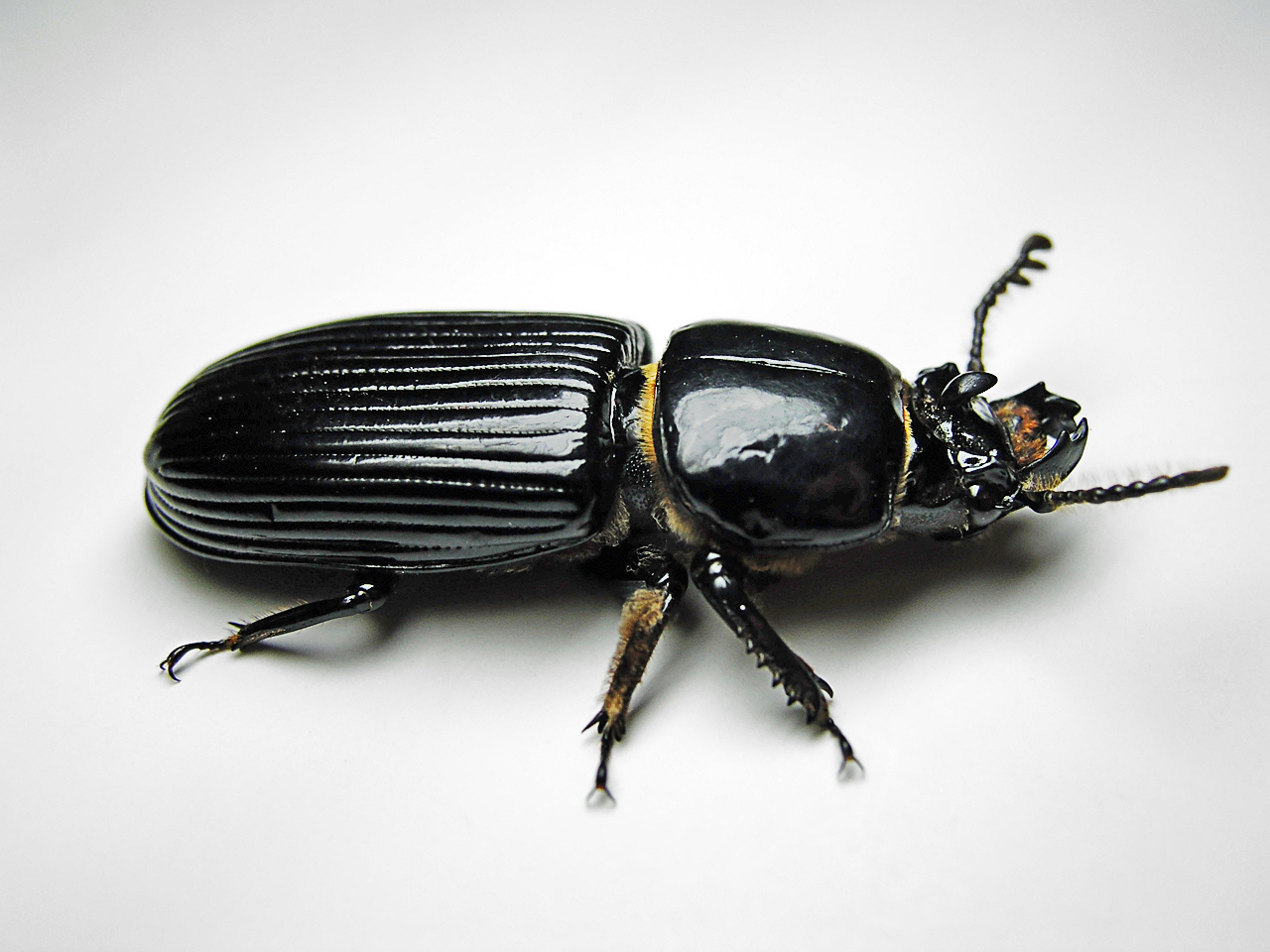 The drug Prestige from the Colorado beetle. All the truth