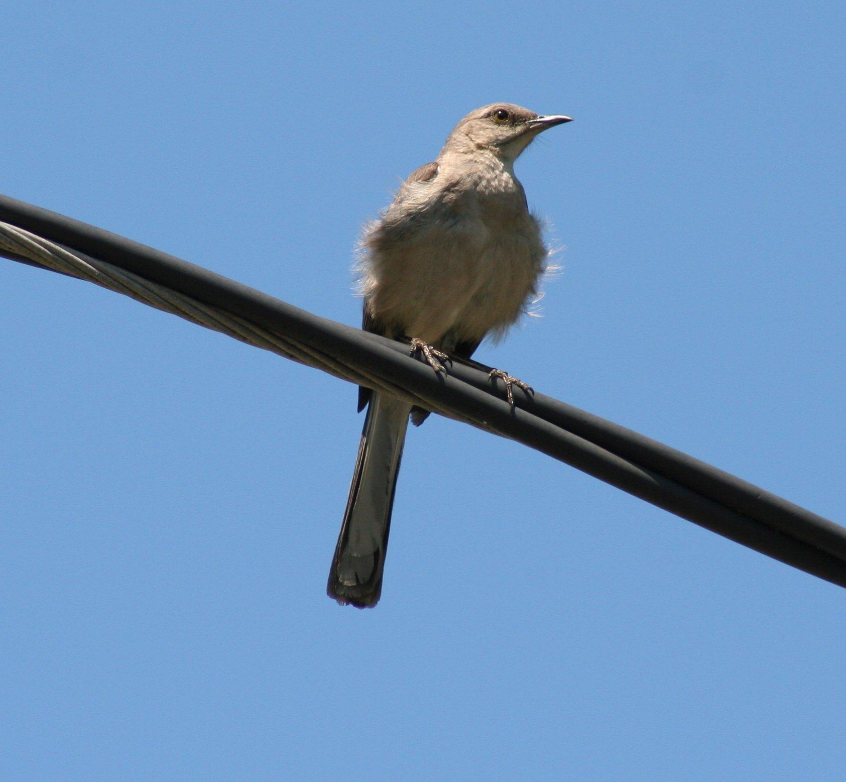 Filebird On A Wire 3690480985jpg Wikimedia Commons