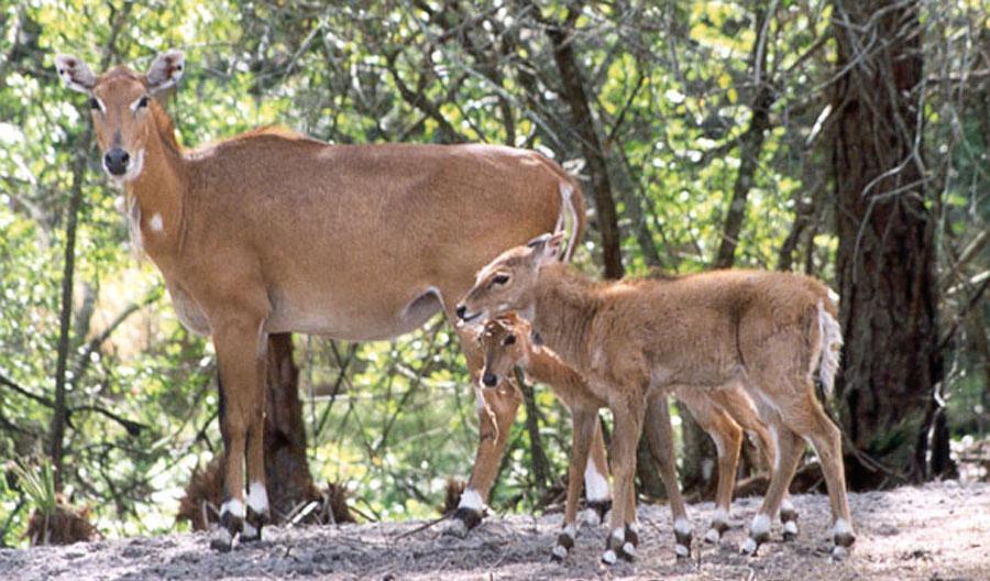 Nilgai female and calves