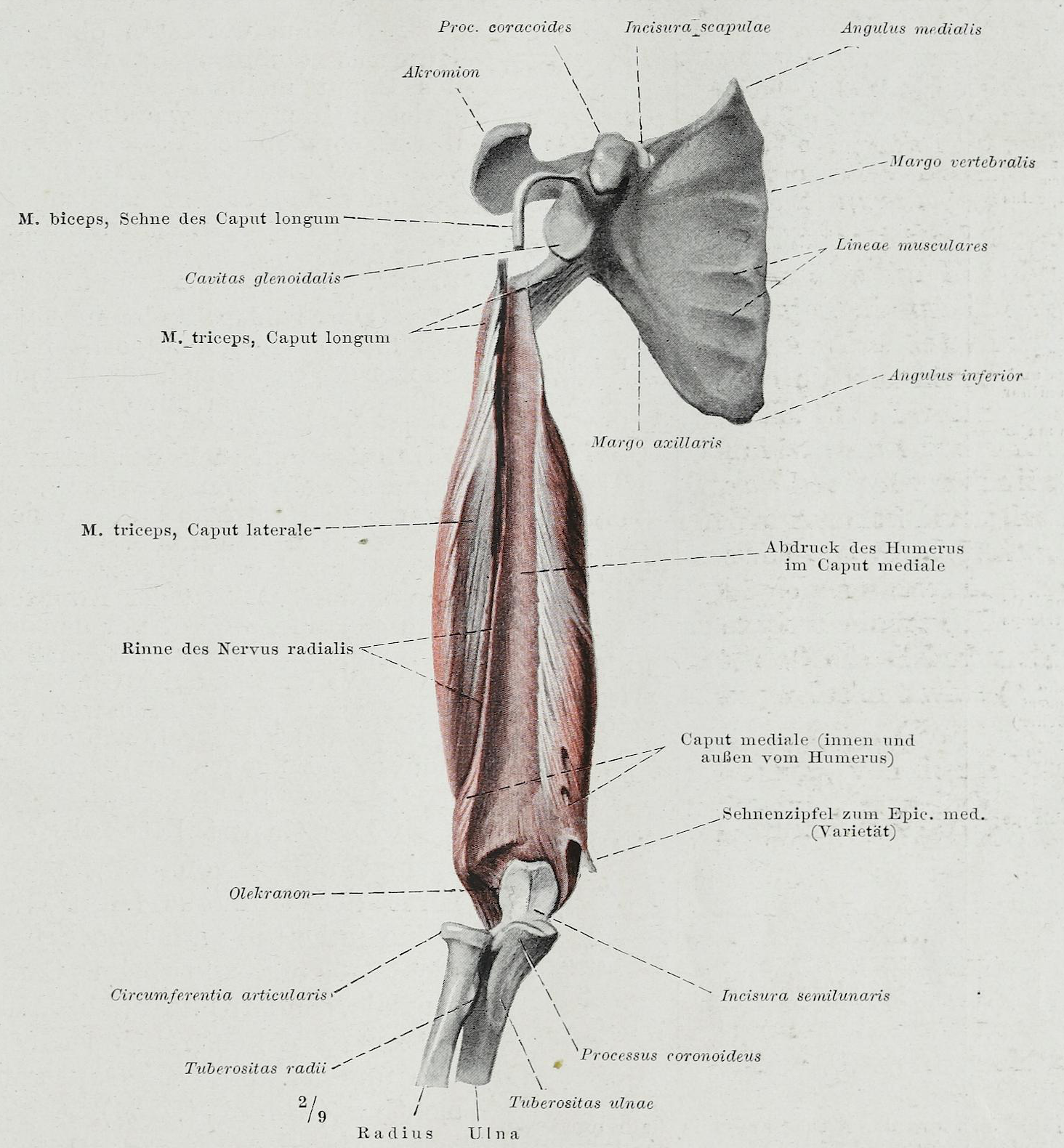 File:Braus 1921 170.png - Wikimedia Commons