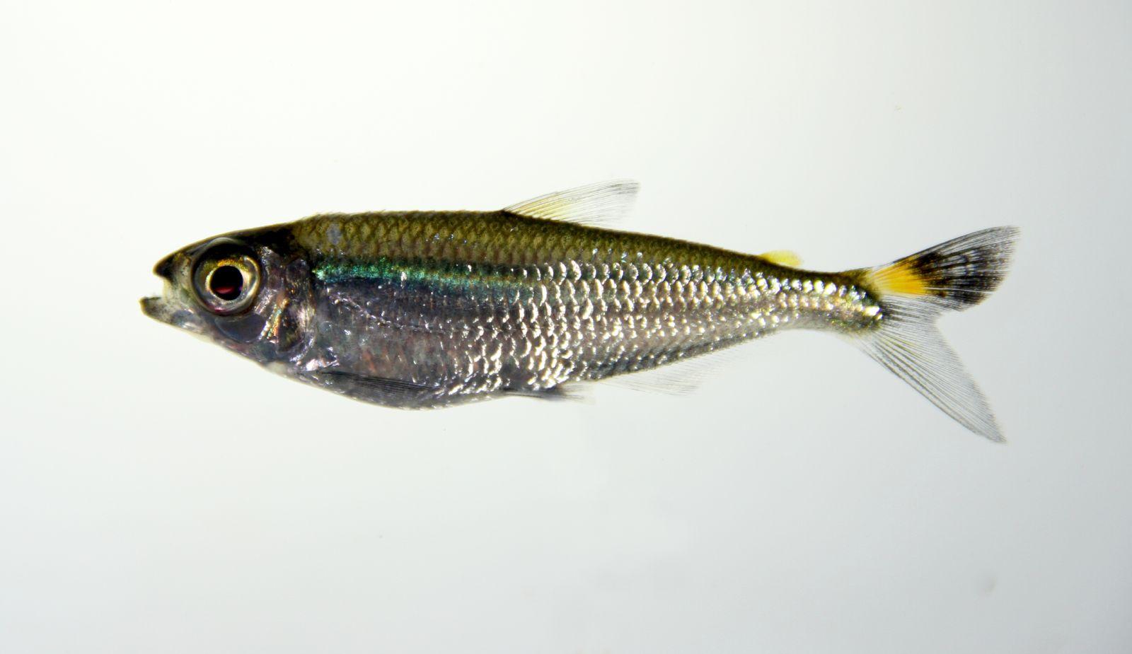 Картинки по запросу bryconops caudomaculatus