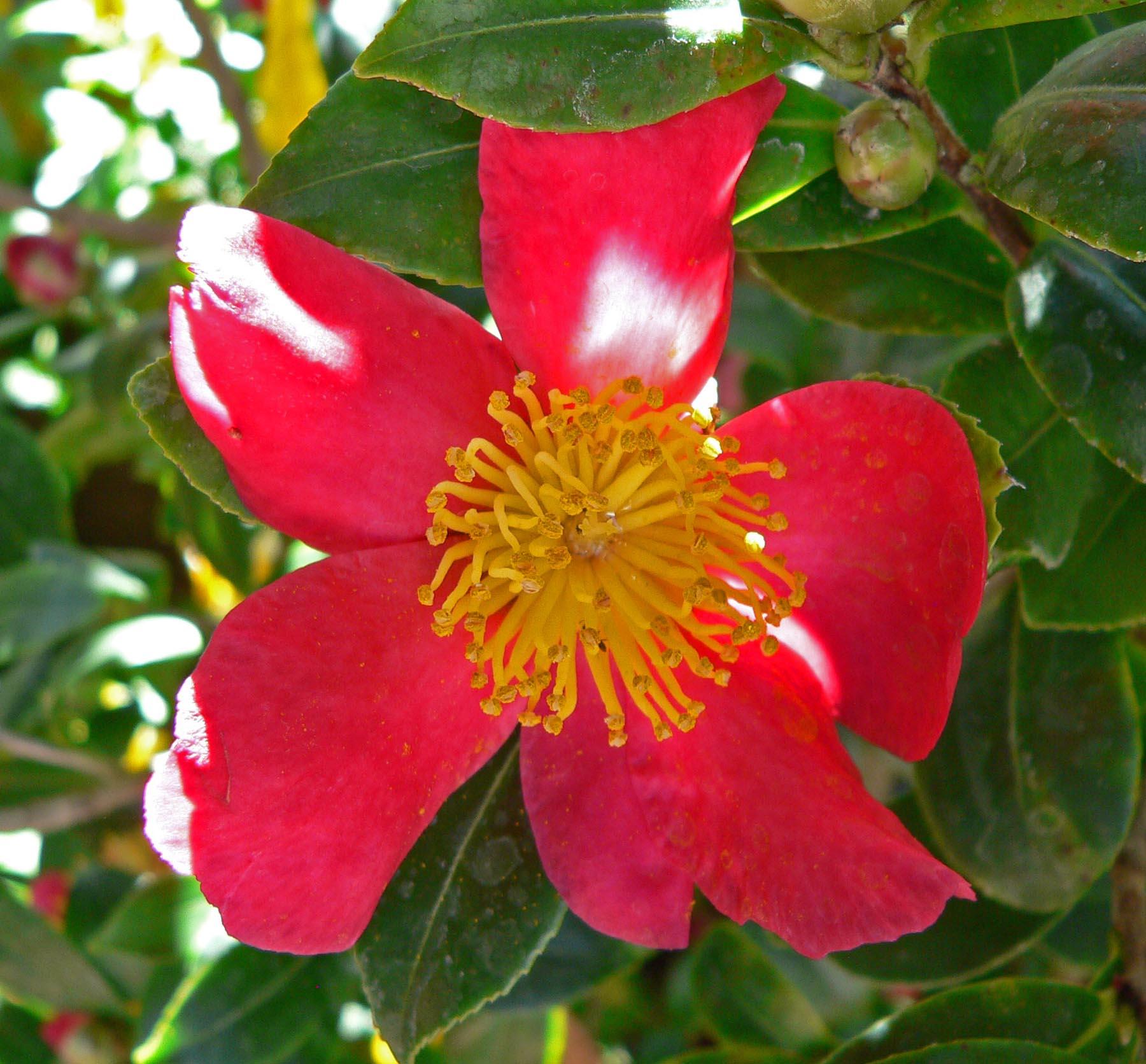 File camellia sasanqua yuletide for Piante che fioriscono in inverno