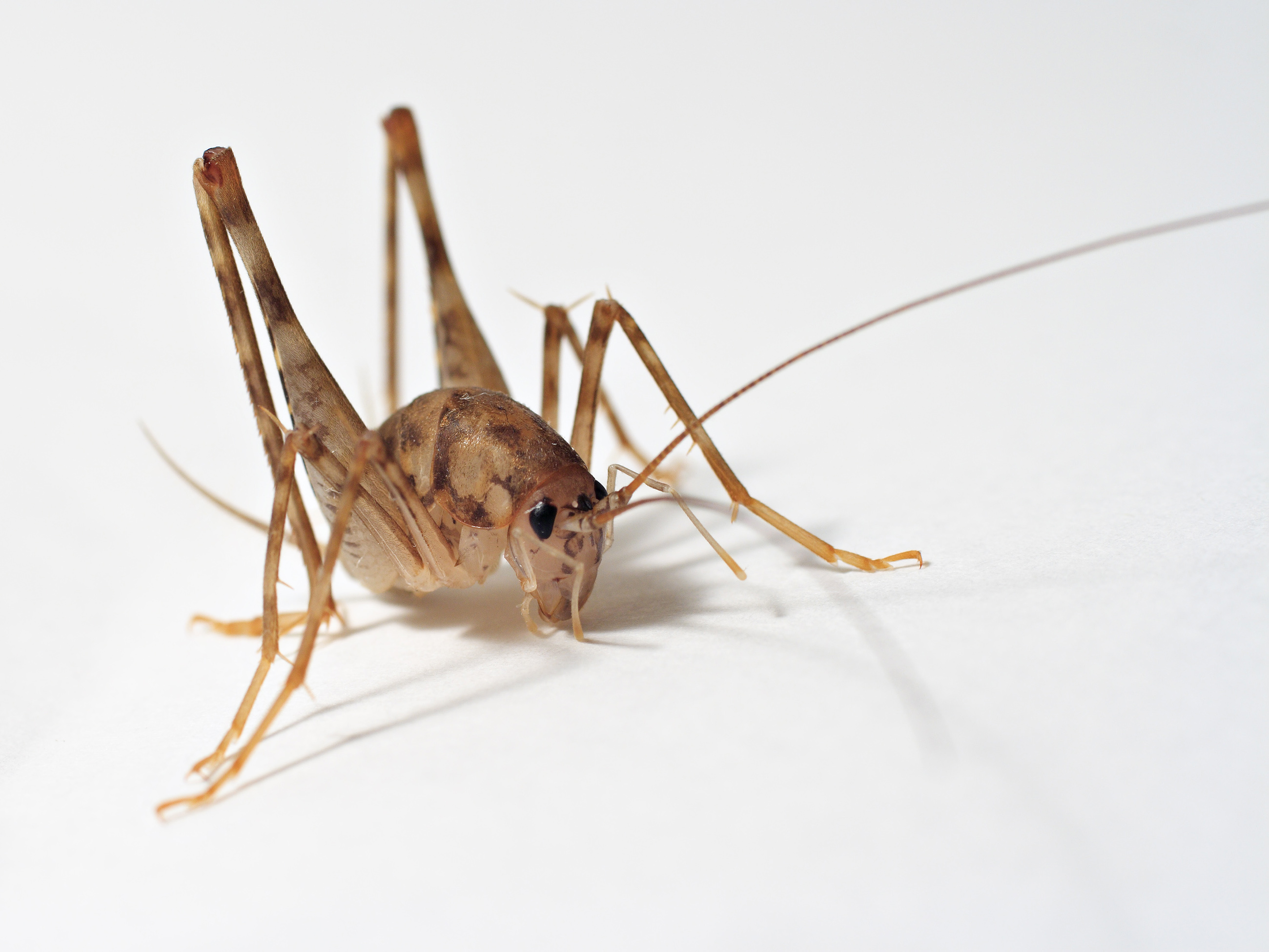 Cave Crickets