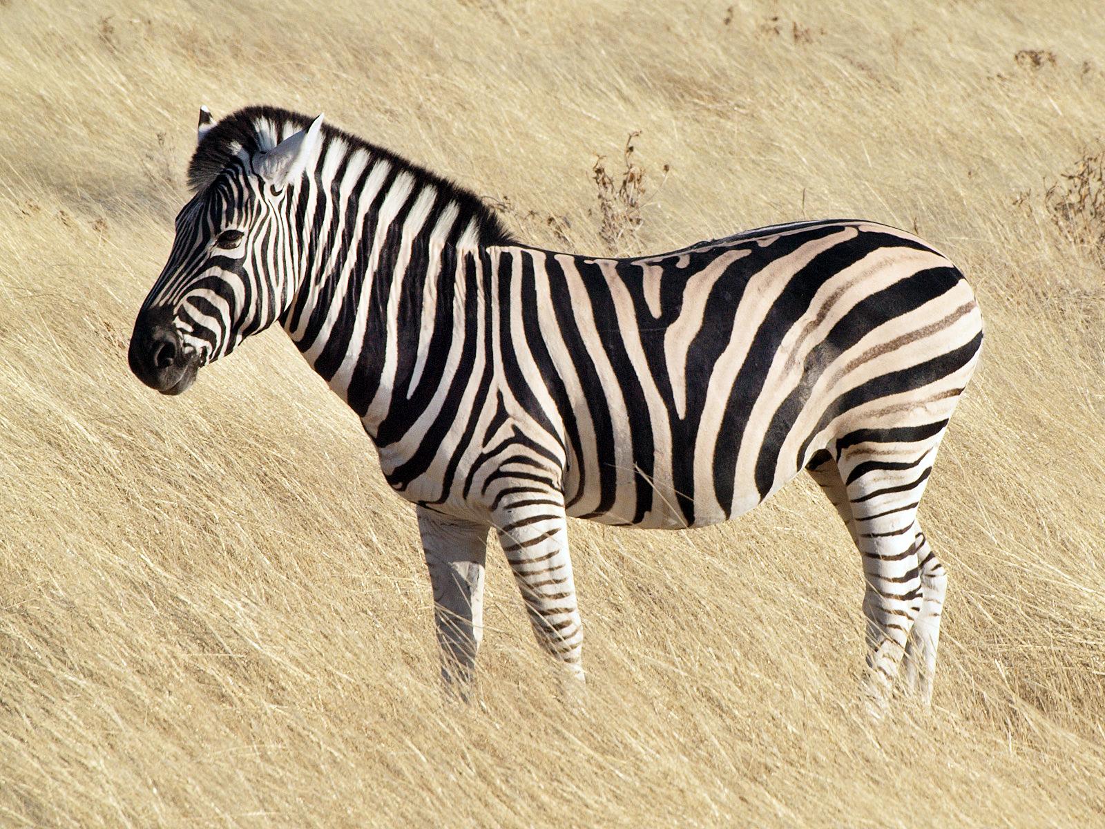 Common zebra 1.jpg