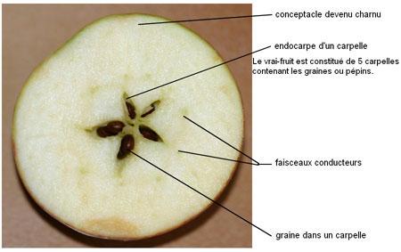 File coupe pomme legende transversale for Lampe pomme de pin
