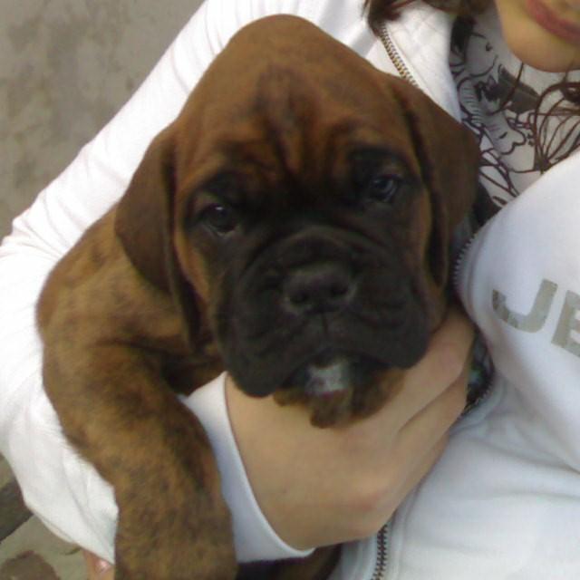 boxer puppy wallpaper free