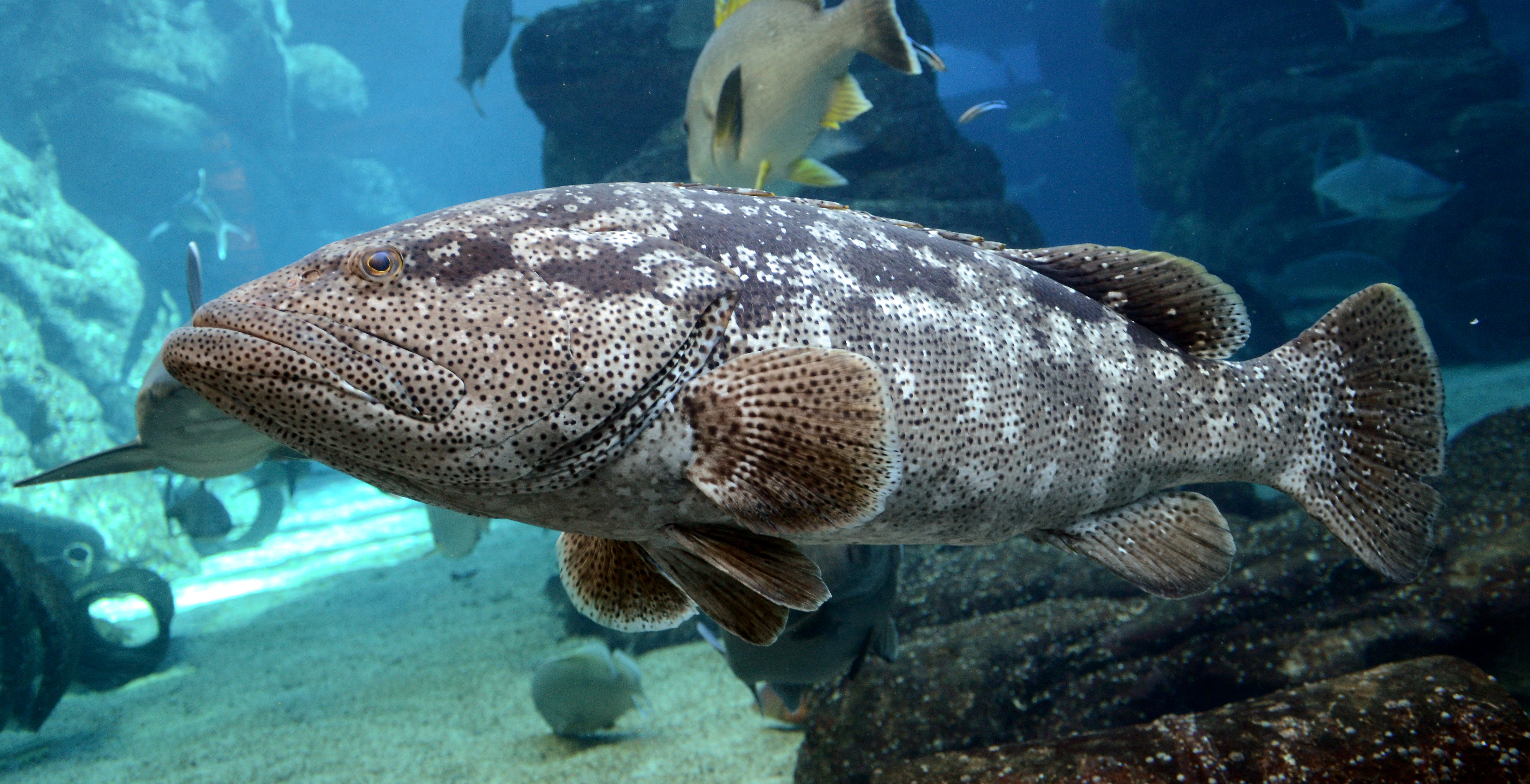 Malabar grouper - Wikipedia