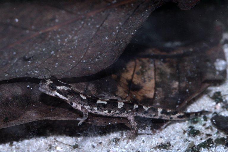 Euproctus platycephalus03