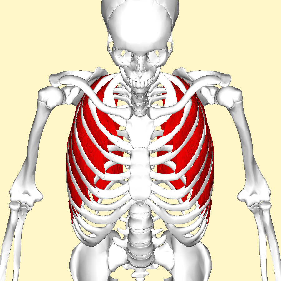 intercostal muscles above.