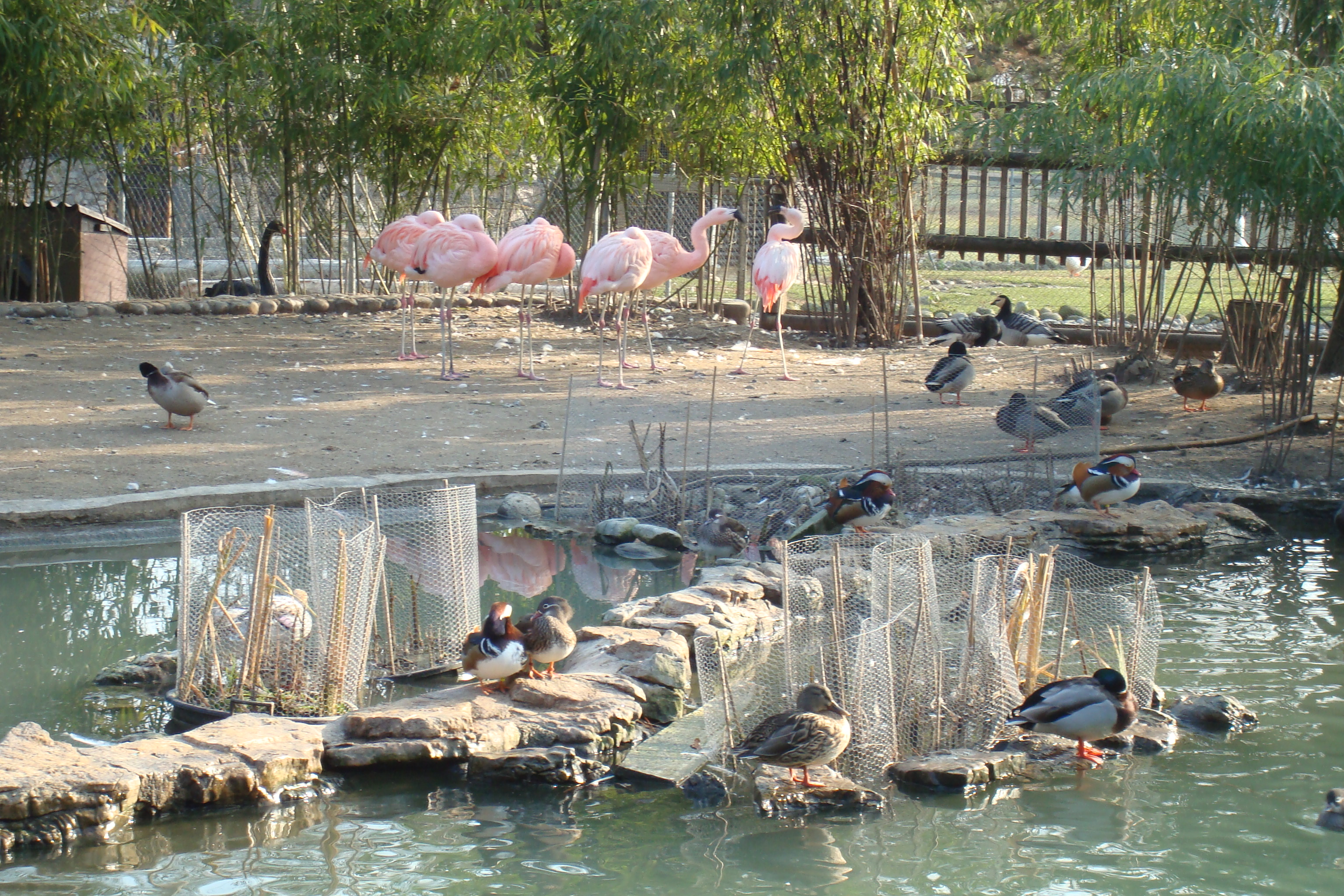 file flamants roses au jardin botanique de gen ve jpg wikimedia commons. Black Bedroom Furniture Sets. Home Design Ideas