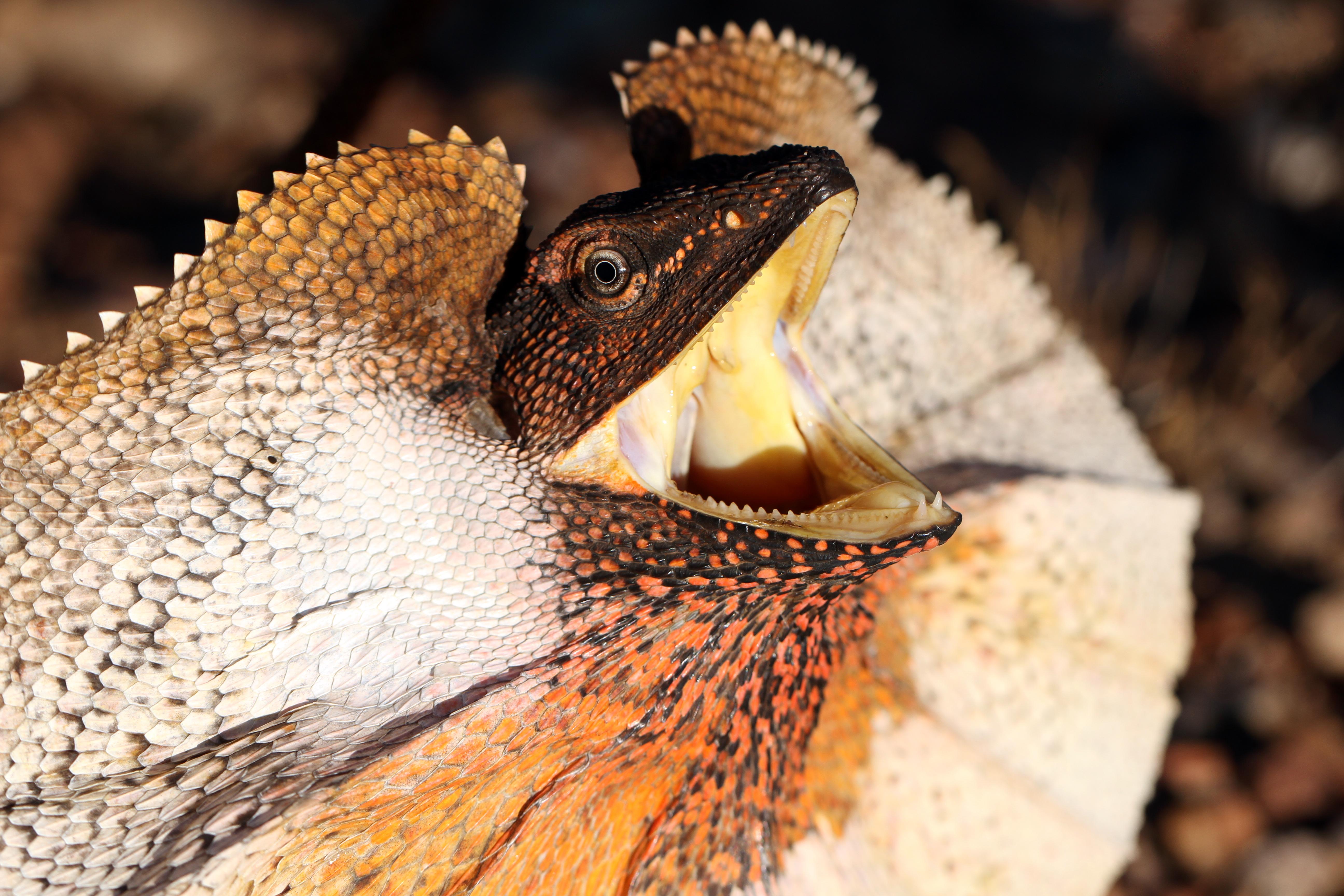 File:Frill-necked Lizard (Chlamydosaurus kingii ...