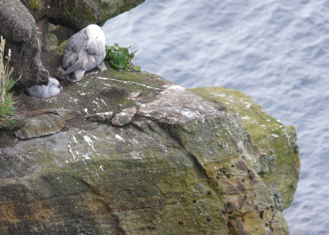 File:Fulmar and chick at Dunnet Head - geograph.org.uk - 892449.jpg