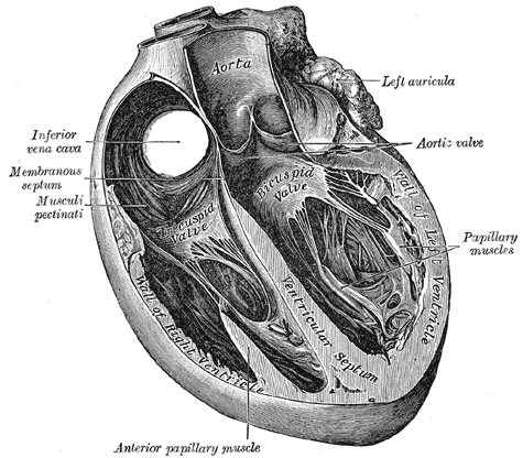 interventricular septum - wikipedia, Human body