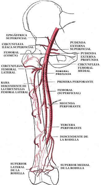Arteria femoral - Wikiwand