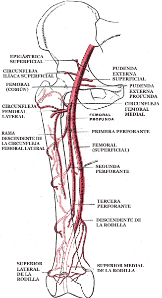 Arteria femoral - Wikipedia, la enciclopedia libre