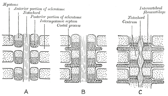 Scheme showing how each vertebral centrum is developed from portions of two adjacent segments. (Myotome labelled in upper left.)