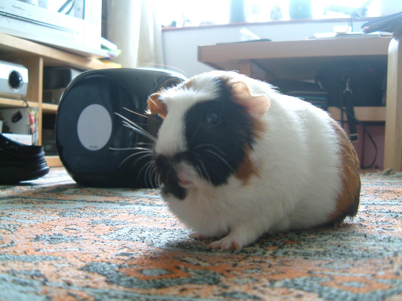Crested guinea pig - photo#10