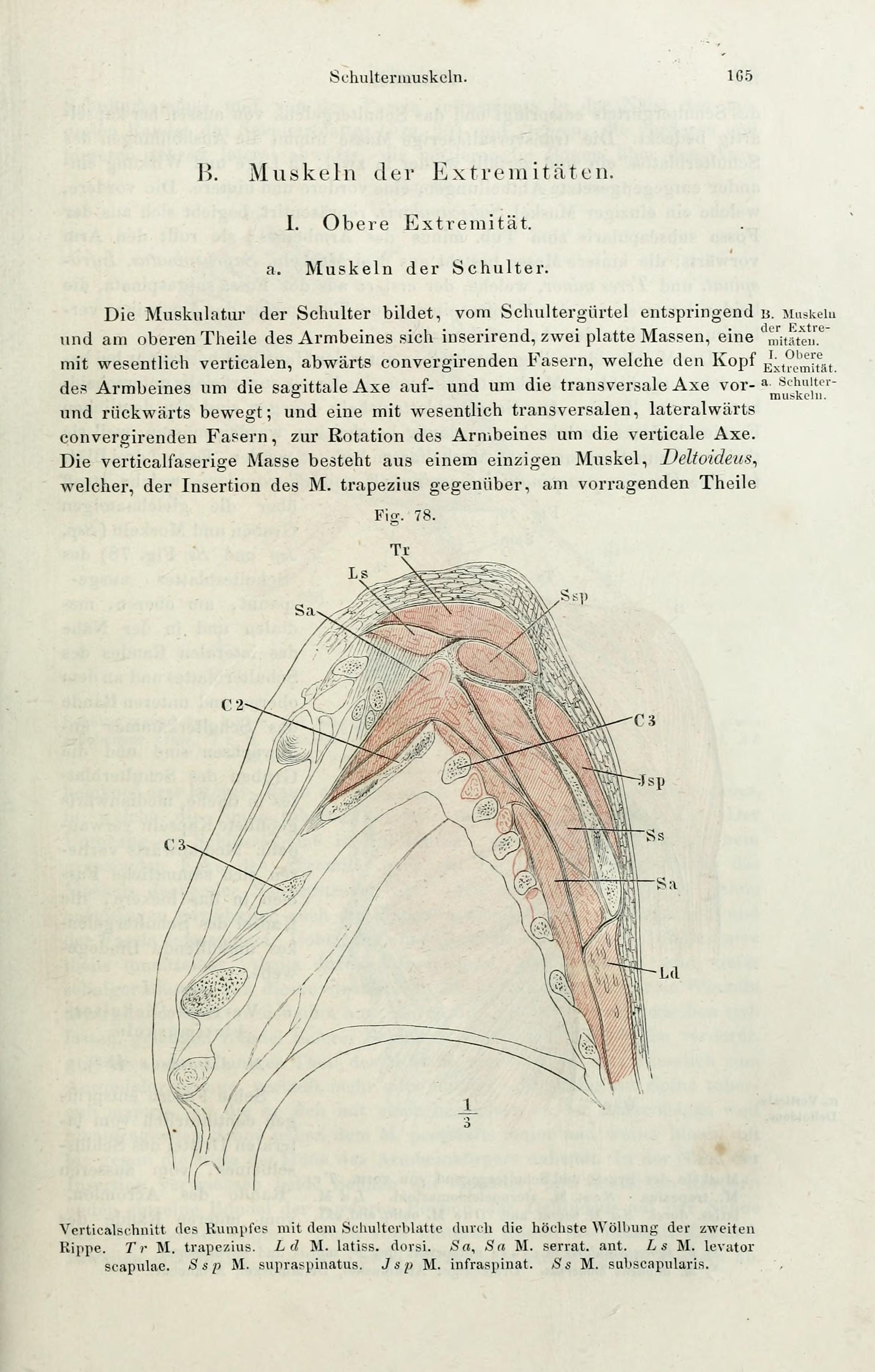 File:Handbuch der systematischen Anatomie des Menschen (Page 165 ...