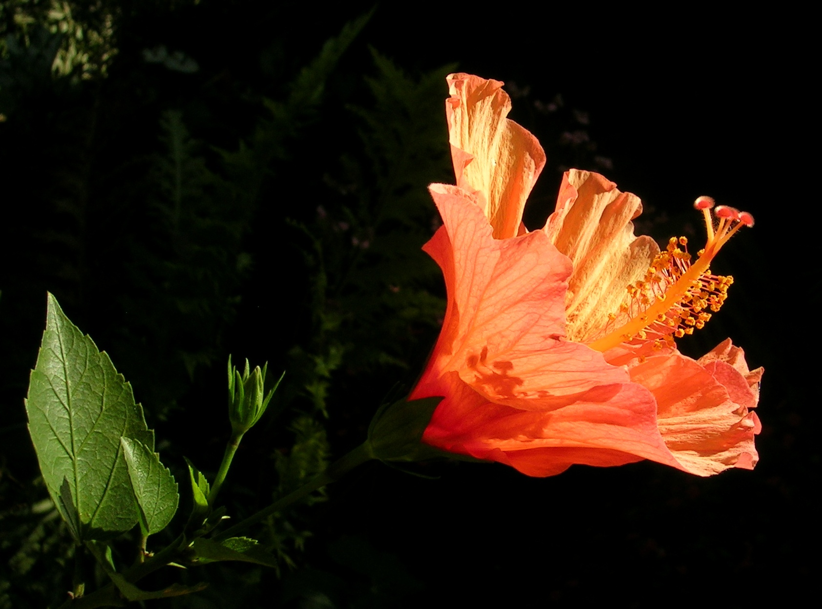 Filehibiscus flower partsg wikimedia commons filehibiscus flower partsg izmirmasajfo