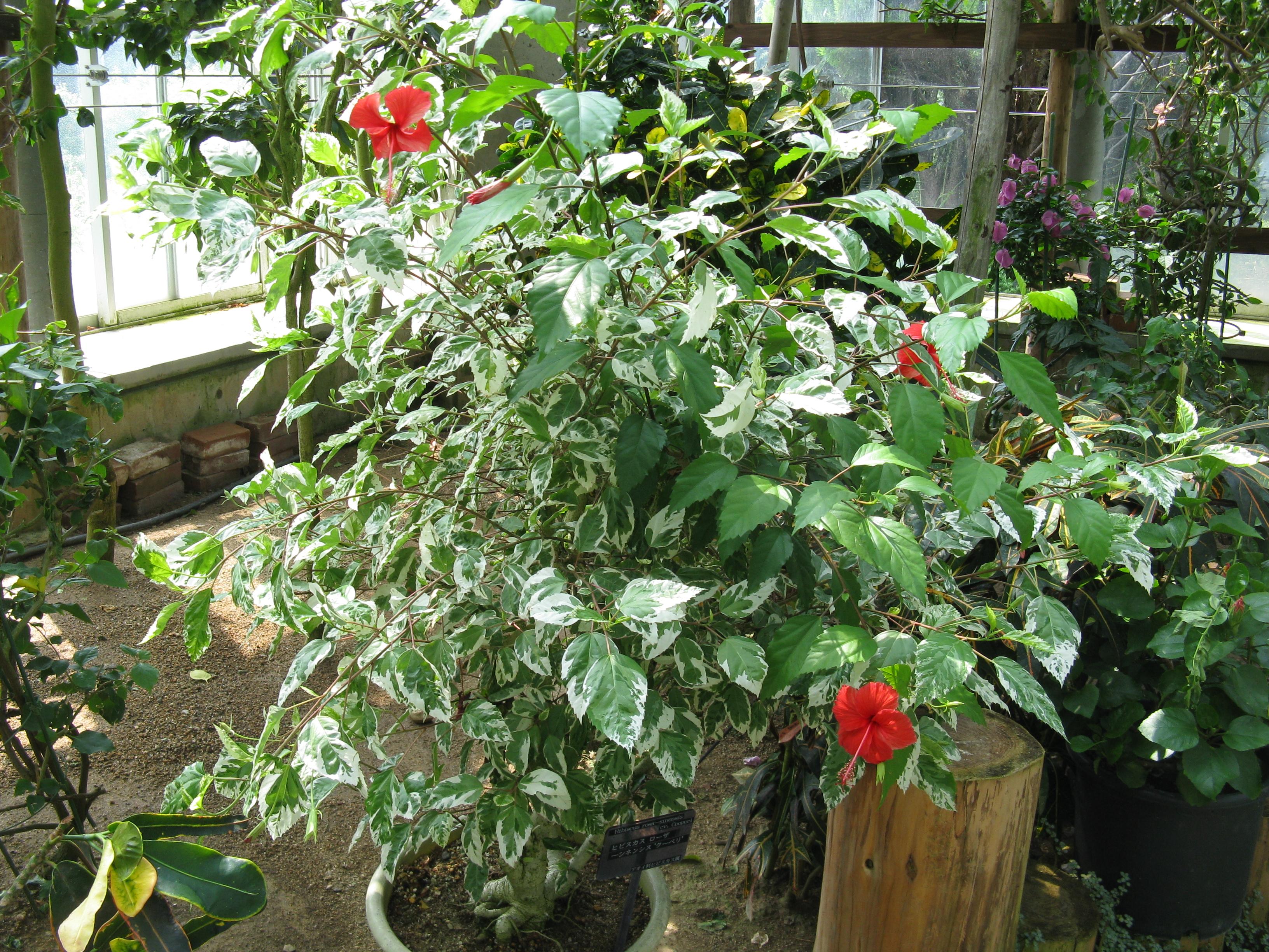 Гибискус китайская роза уход в 35