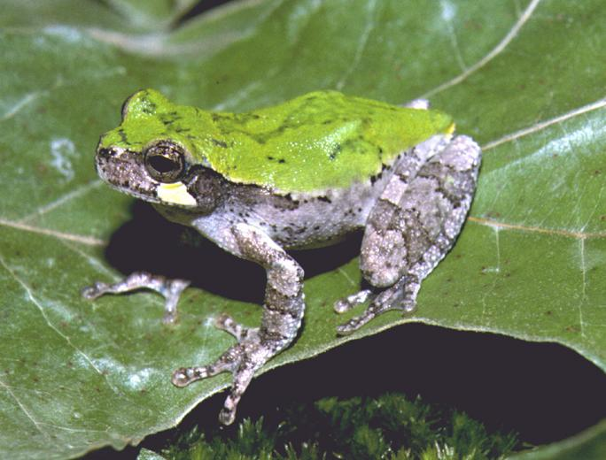 Bird-Voiced Tree Frog (Hyla avivoca)