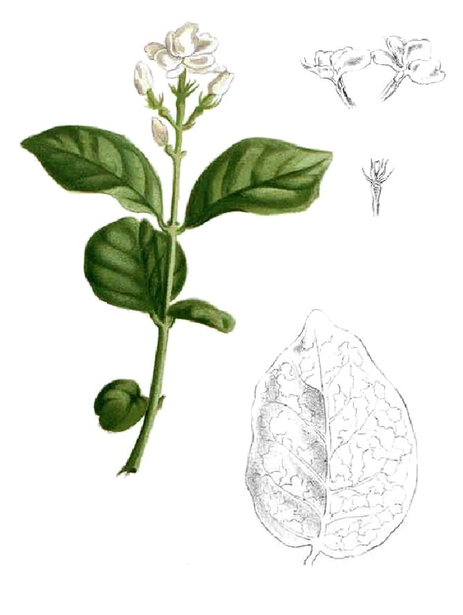 Jasminum Sambac Drawing