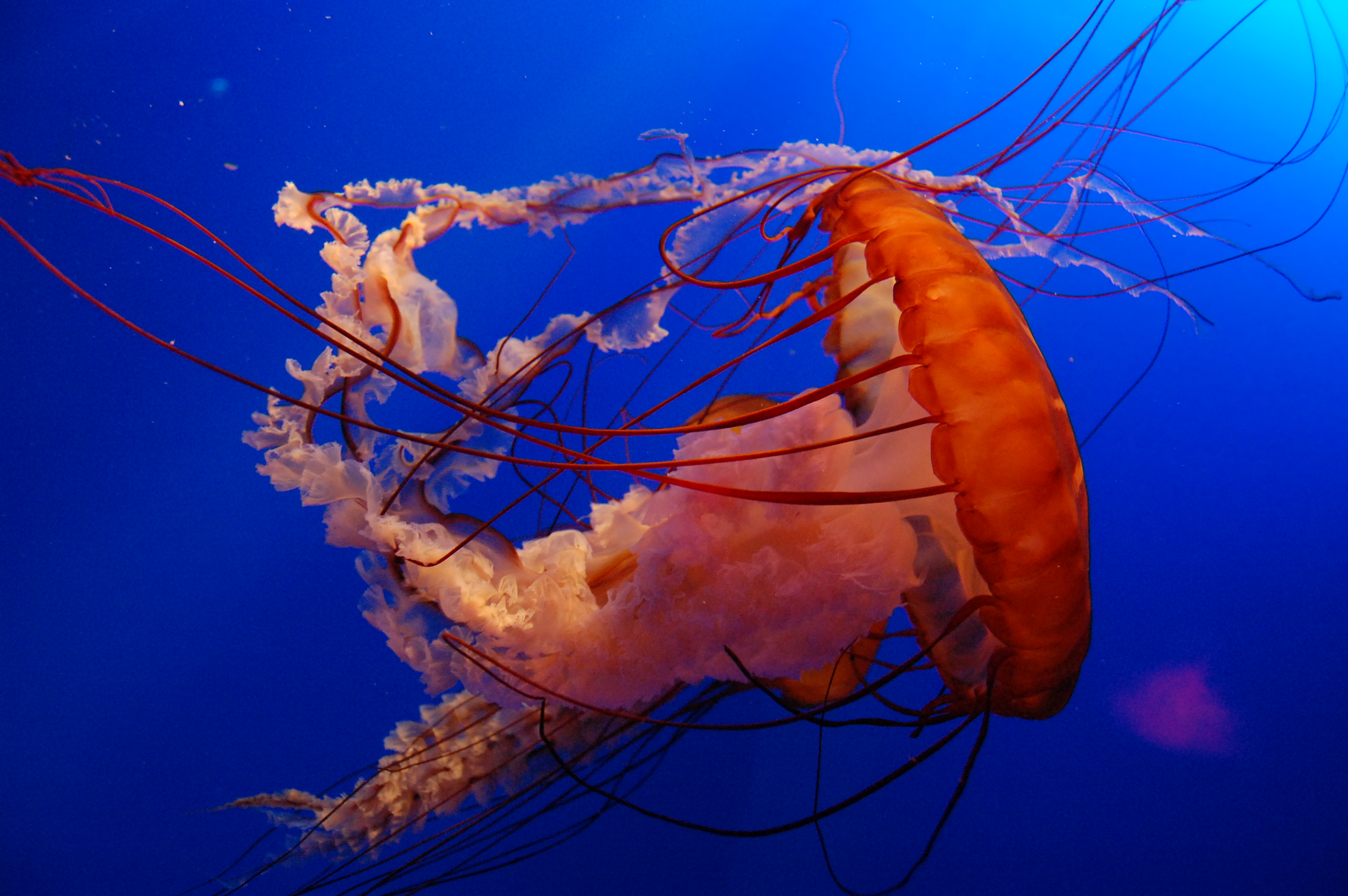File Jelly Fish In Ocean Wikipedia