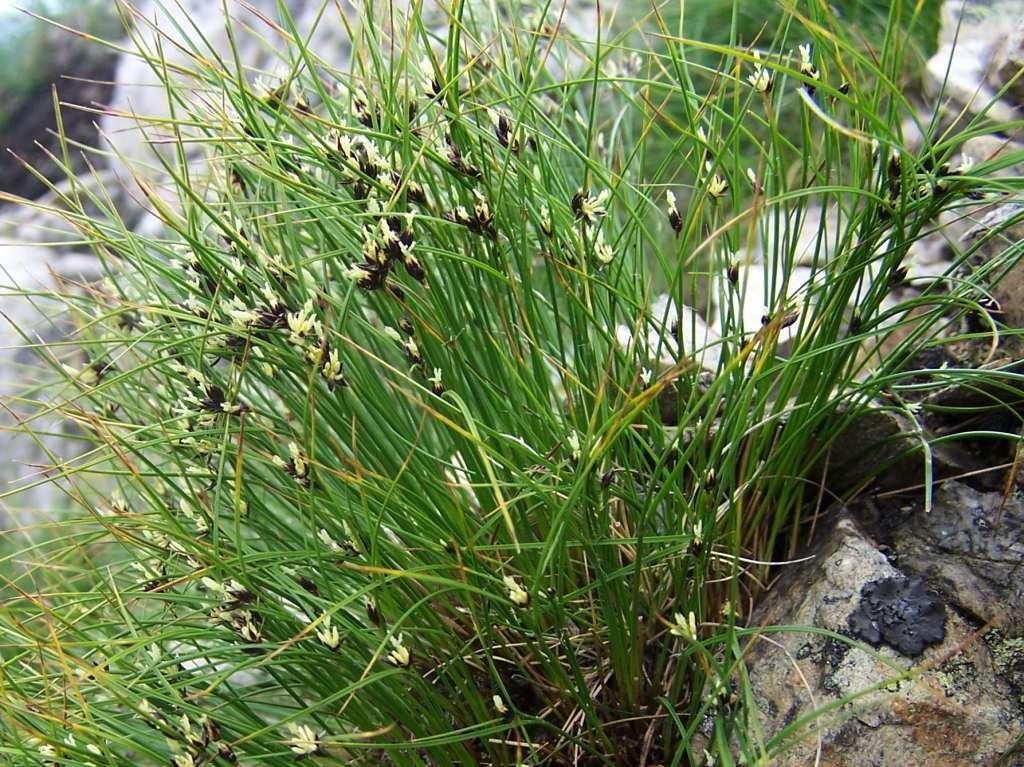 Dreiblatt-Binse (Juncus trifidus)