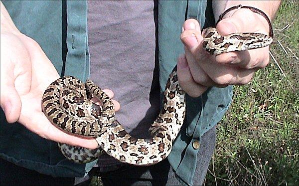 Alabama black snake 5 - 5 8