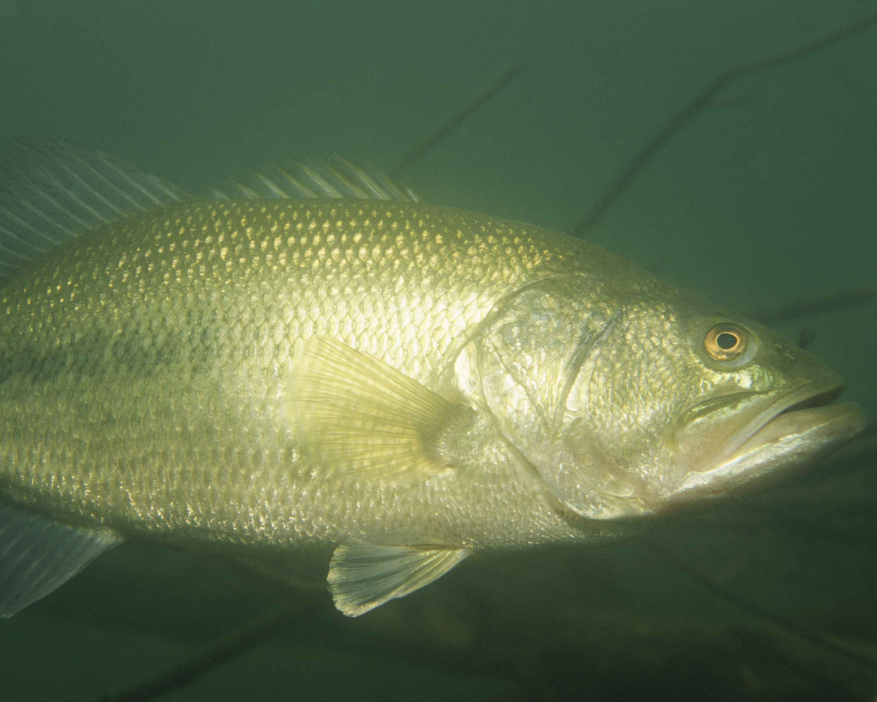 File largemouth bass fish underwater micropterus salmoides for Bass fishing pics