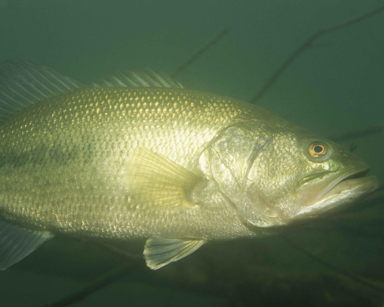 Description Largemouth bass fish underwater micropterus salmoides jpgLargemouth Bass Pictures Underwater