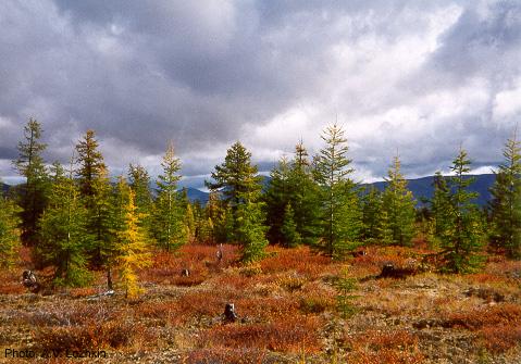 Лукунский лес Таймырского заповедника