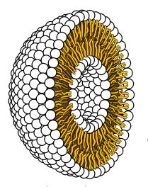 Cross-section of liposome.