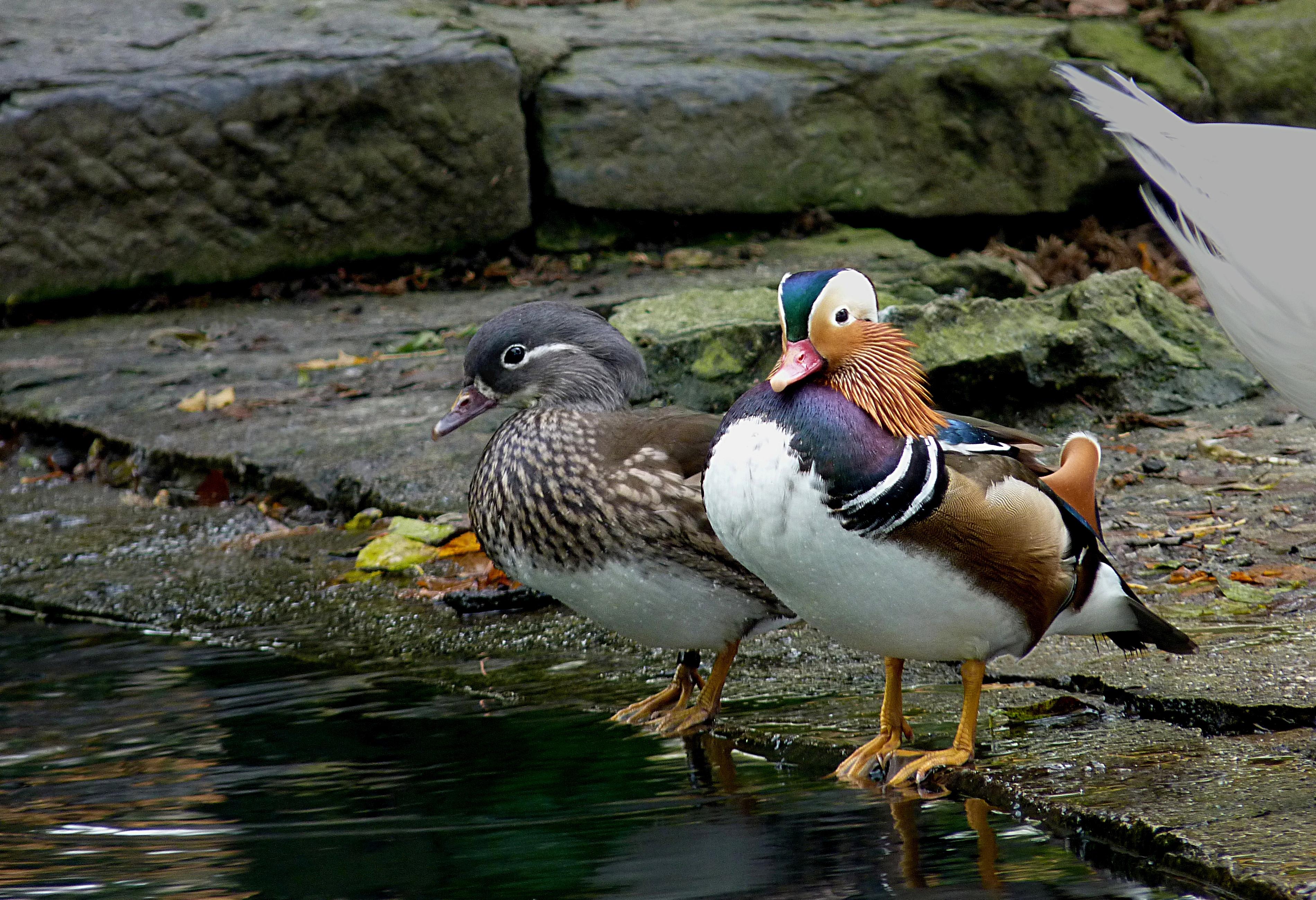 Description Mandarin ducks (pair) J1.jpg
