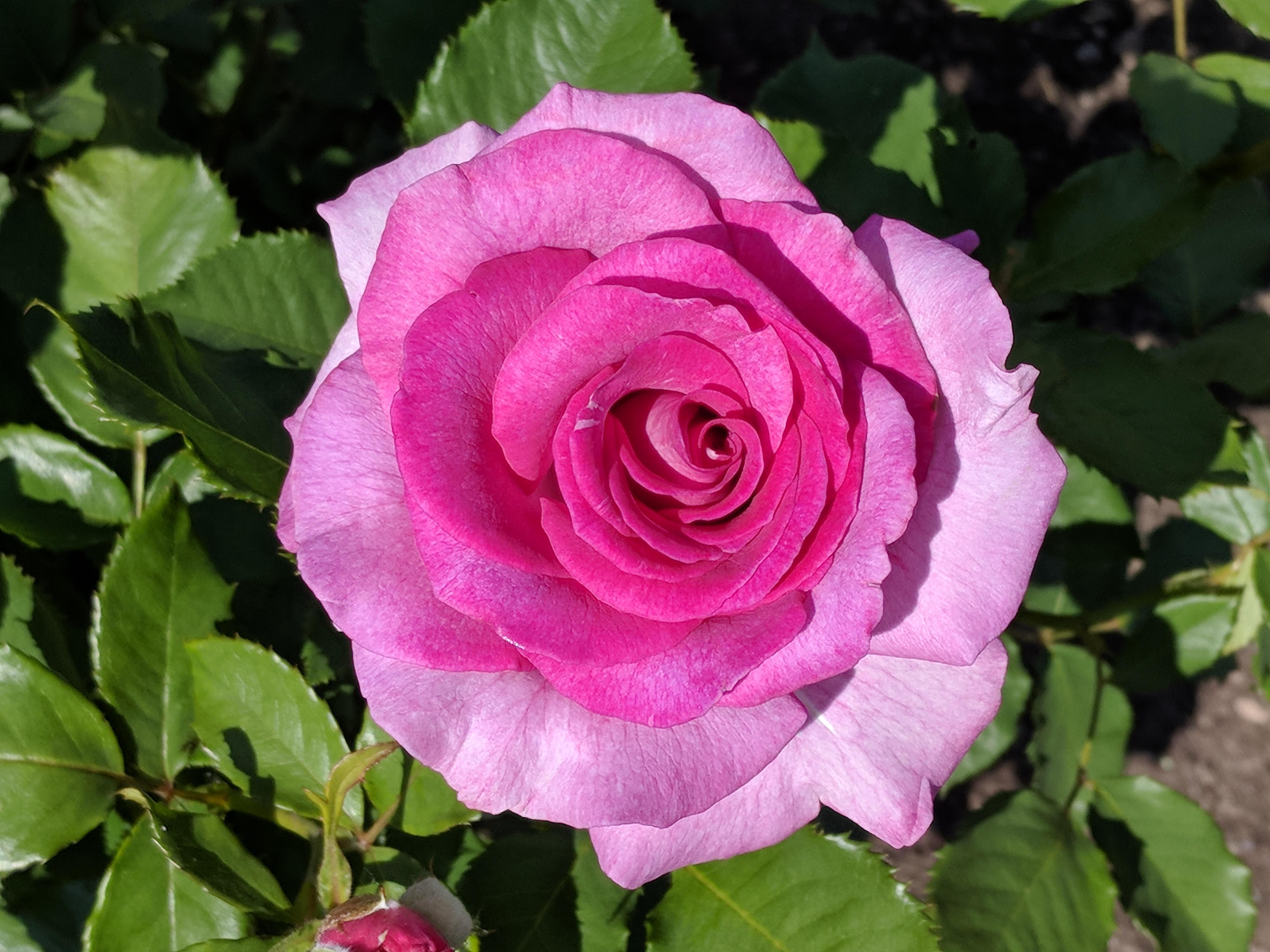 Couper Les Rosiers En Octobre violette parfumée — wikipédia
