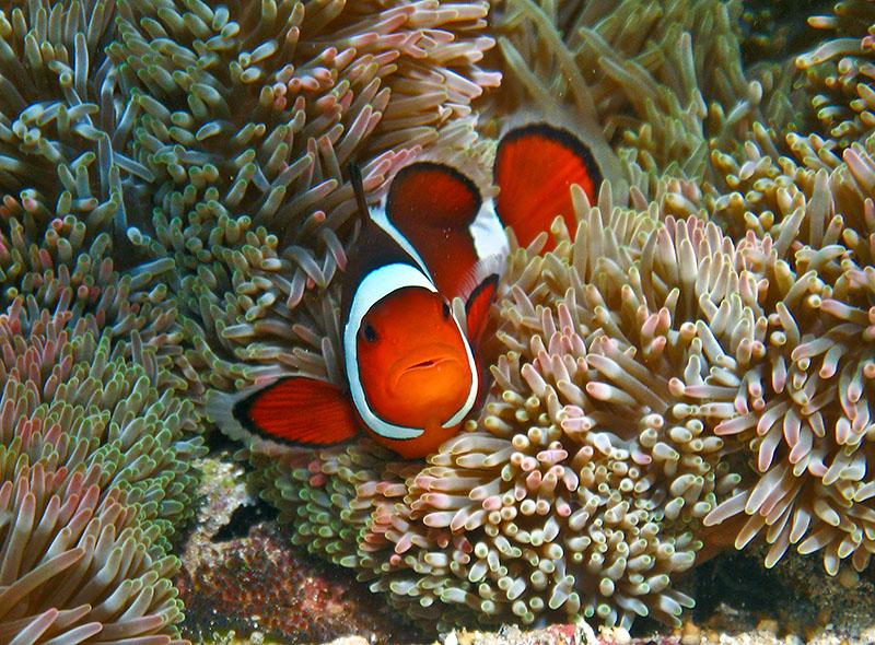 File orange clown fish wikimedia commons for Clown fish size