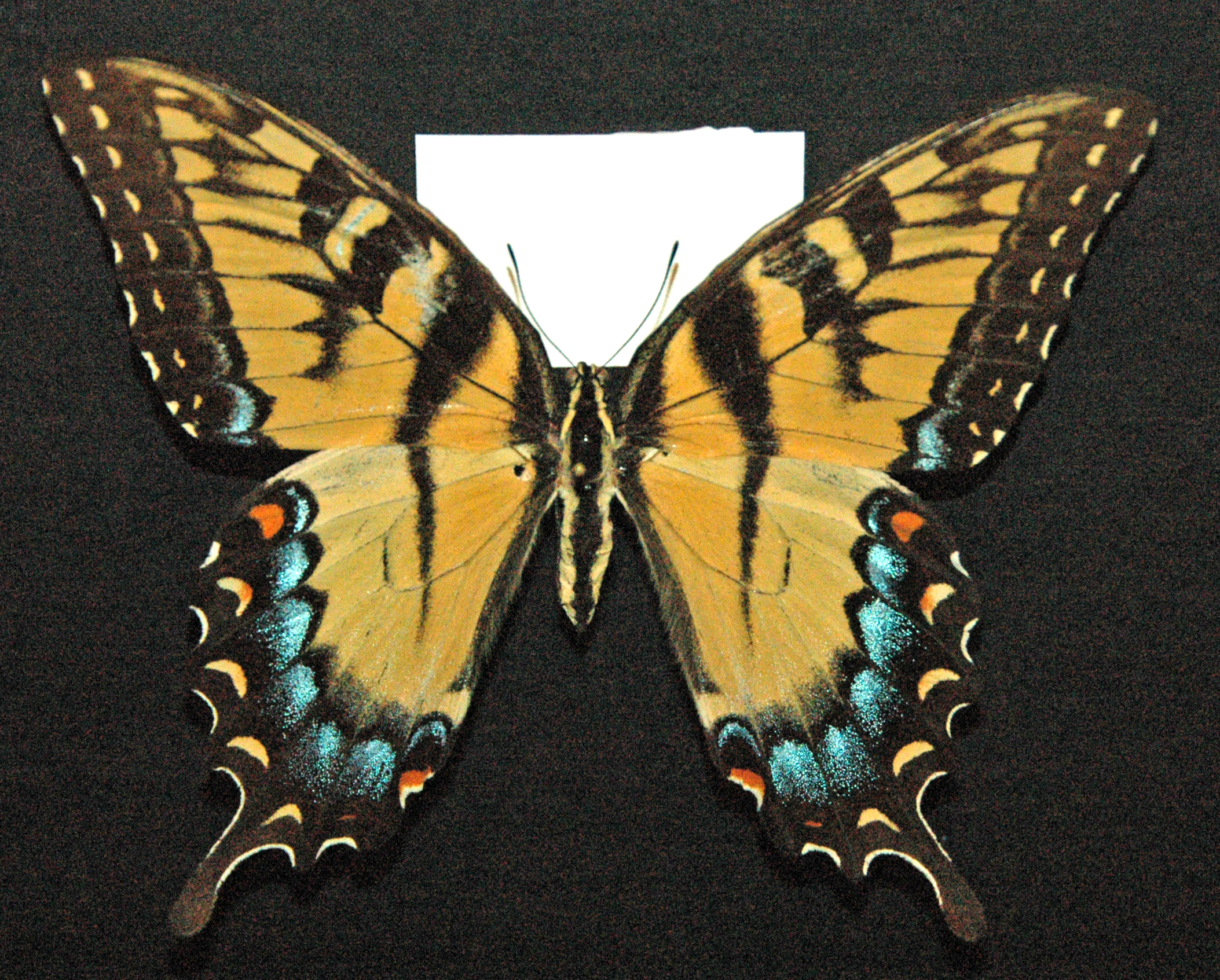 File:Papilio glaucus (female eastern tiger swallowtail